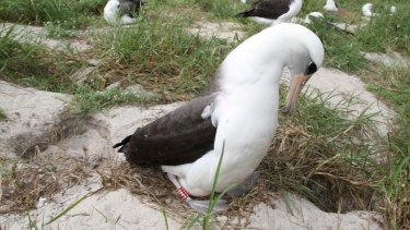 Wisdom, the Laysan albatross, is the world's oldest known, banded, wild bird.