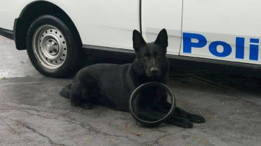 Hero dog: Marco was responsible for helping rescue a 65-year-old man on Saturday night.