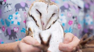 A barn owl at the RSPCA Wildlife Hospital.