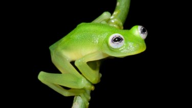 A newly discovered glassfrog looks a lot like Kermit the Frog.