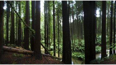 The great Californian Redwoods