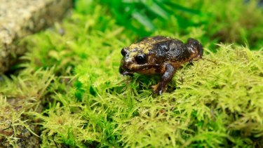Here she is: the first female Baw Baw frog found in the wild.