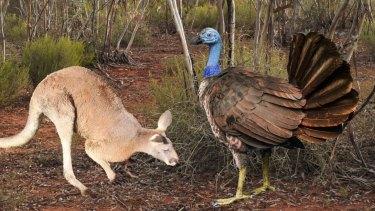 Reconstruction of Progura gallinacea next to a grey kangaroo.