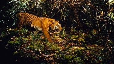 A Sumatran tiger in Gunung Leuser National Park.