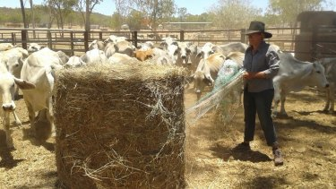 Sally Witherspoon's daughter feeding donated hay to the smaller cattle.
