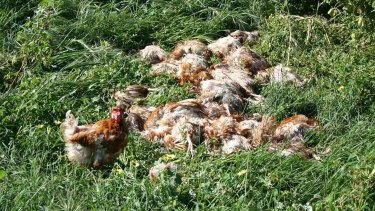 A laying hen stands in front of a pile of carcasses at Snowdale Holdins' Swan Valley Egg Farm, Carabooda.