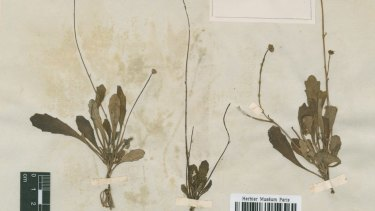 Images of the types of Lagenophora species destroyed by Australian officials.
