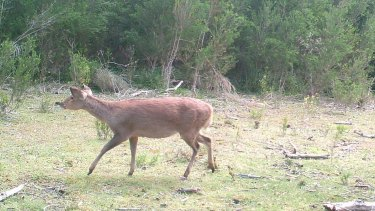 Hog deer at Wilsons Promontory National Park