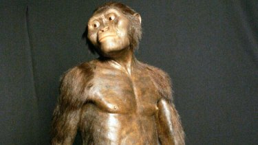 A 3D model of the early human ancestor, Australopithecus afarensis, known as Lucy, on display at the Houston Museum of Natural Science.