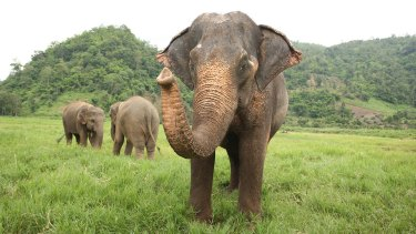 Mae Tee with fellow elephants.