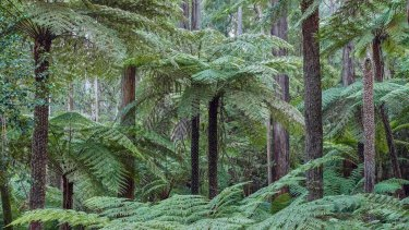 The Kuark forest, near Orbost, has been earmarked for logging this week.