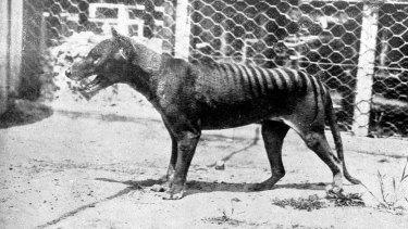 The last known Tasmanian Tiger, or Thylacine, died at Hobart Zoo in 1936.