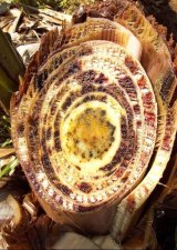 A cross section of a banana plant stem showing discolouration of the vascular tissue.