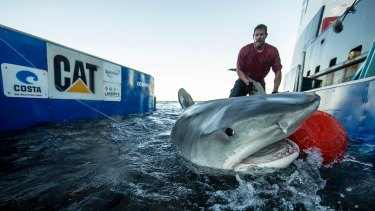 The OCEARCH crew tagged a record 20 tiger sharks in 11 days at the Ningaloo Reef.