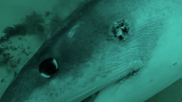 A dead shark with a bullet-hole in its head from the documentary The Shark Cull.