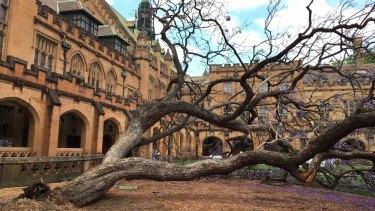 The fallen jacaranda tree in the University of Sydney quadrangle.