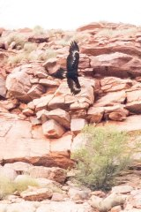 Mr Carter took this photograph of a wedge-tailed eagle in the area in question on Monday morning.