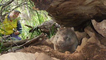 A wombat that escaped logging.