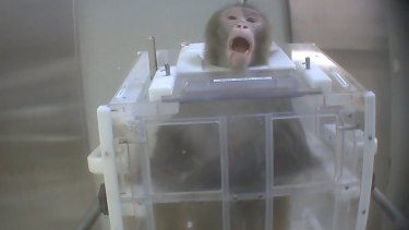 A macaque in a restraint used in an experiment, as shown in a photo taken from a Cruelty Free International investigation.