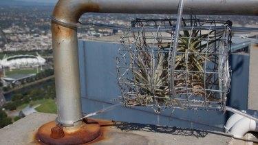 Tiny Tillandsia plant growing on top of Eureka Tower