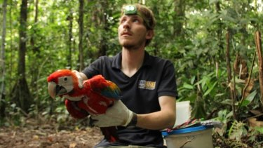 Dr George Olah, on the Peruvian Amazon, releases a just-examined Scarlet Macaw.