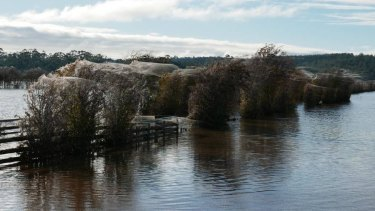 Spider webs cocoon trees during the floods in Westbury, Tasmania.