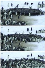 Three photos showing the dynamic nature of emperor penguin huddling at Adelie Land, Antarctica.