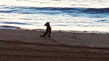 A fox is spotted out on Coogee Beach.