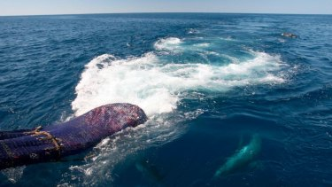 The study found dolphins scavenge around a trawler.
