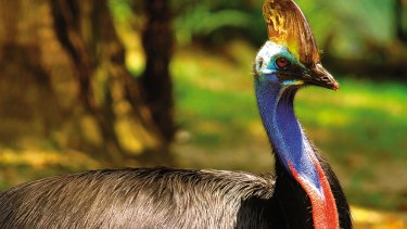 An emaciated female cassowary - found in the Atherton Tablelands - was put down this week.