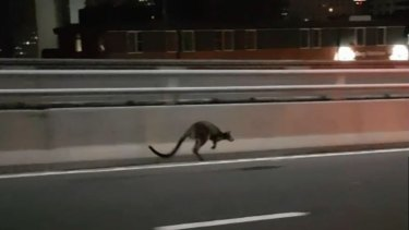 Police followed the wallaby on its journey over the bridge.