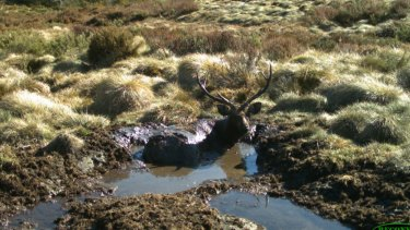 A Sambar deer stag in a mud wallow in the Alpine National Park.
