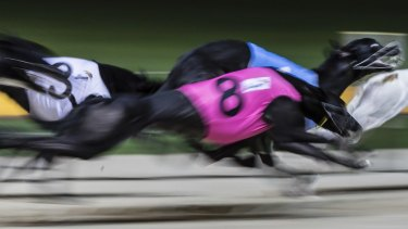 A trainer who allegedly used a 6000-volt prod on a greyhound will not be charged.