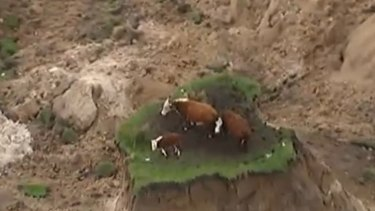 Cows stranded by landslides on the coast north of Kaikoura, New Zealand.
