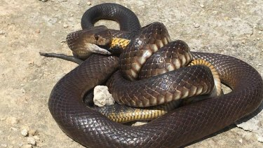 Both the dugite and tiger snake are venomous and potentially fatal to humans.