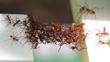 Ants use their bodies to bridge two table tops.