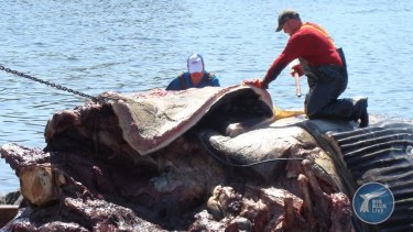 A blue whale heart has been examined by scientists in a new documentary series.