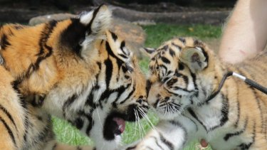 Akasha and Adira were named on Monday after Tiger Island staff sifted through over 9000 suggestions in a nation-wide competition.