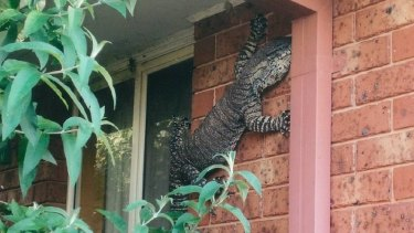 A mature Lace Goanna was spotted on a residential property in Thurgoona in New South Wales.