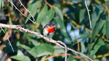 A mistletoe bird in the Underwood Avenue bushland in Shenton Park, whose future is uncertain.