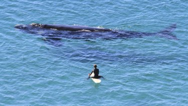Surfers are required to stay at least 100 metres away from whales.