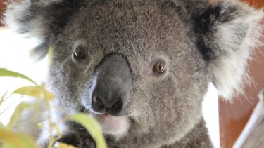Koala deaths are expected to increase if plans for a major new suburb in Brisbane's west go ahead.