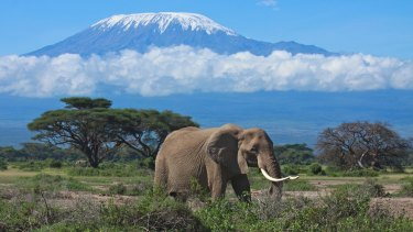 An elephant roaming near Mount Kilimanjaro in Tanzania.