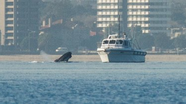 Thar she blows: A whale looks at a boat near Williamstown on Friday.