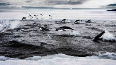 Adelie penguins, at home in the Ross Sea, which is a step closer to marine reserve status.
