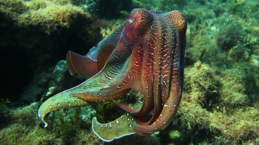 """""""The giant cuttlefish lives for only two years, and after this winter Mardi Gras it will slink off and die."""""""