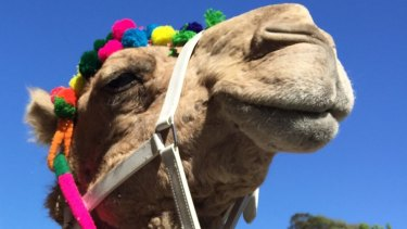 A camel, not this one pictured, escaped onto a highway in central Victoria on Saturday.