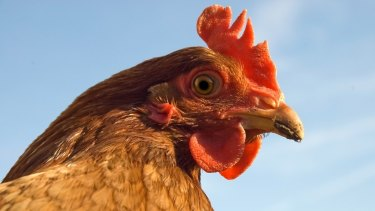 Chickens can pick up all kinds of internal parasites and will occasionally need treatment.