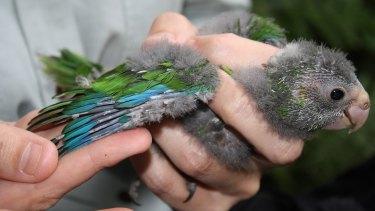 A green parrot fledgling.