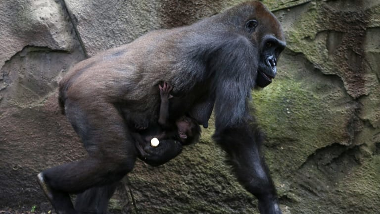 A baby western lowland gorilla clings to its mother, Frala, at Taronga Zoo